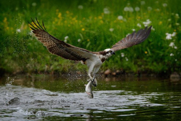 Osprey catching fish. Flying osprey with fish. Action scene with osprey in the nature water habitat. Osprey with fish in fly. Bird of prey with fish in the talon. Bird osprey hunting in the water.