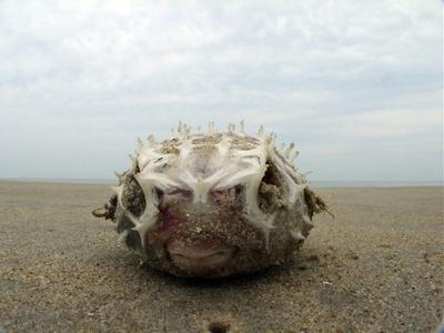 Blowfish - Photo of the week