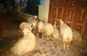 Nusaybin'de çalınan koyunlar bulundu
