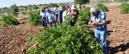 Bağlarda salkım güvesine karşı  biyolojik mücadele projesi hız kazandı