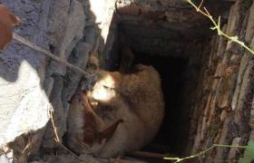 Kuyuya düşen 4 koyun ve 1 oğlağı itfaiye kurtardı