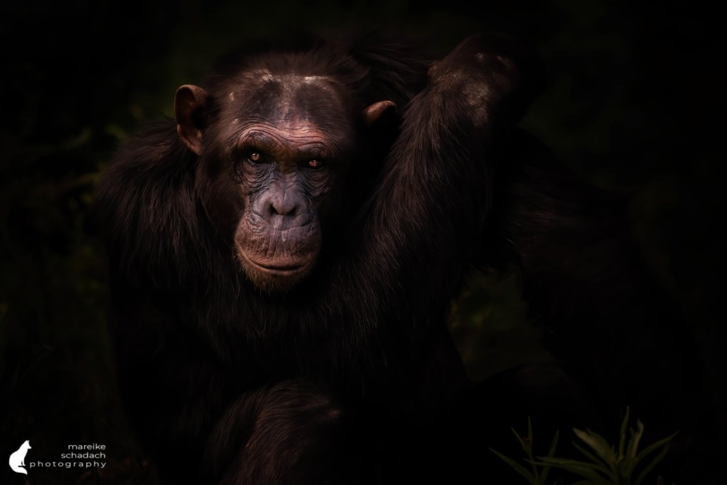 Chimpanzee (Pan troglodytes) in Ol Pejeta Chimp Sanctuary, Kenya
