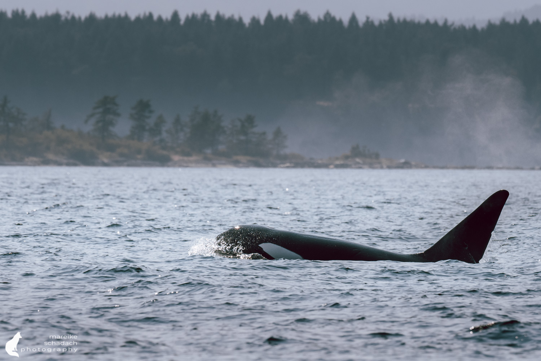 Orca Whale (orca orcinus)