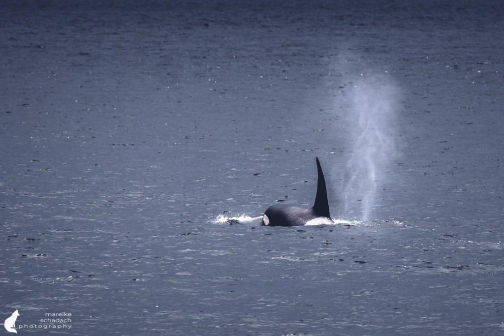 Orca (orca orcinus), Killerwal
