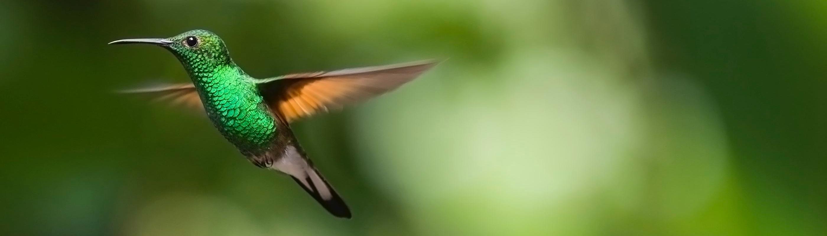 Foto eines fliegenden Kolibris