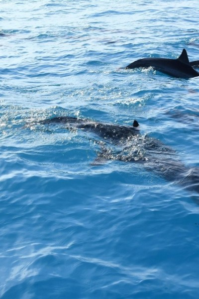 spinner-dolphins-hawaii