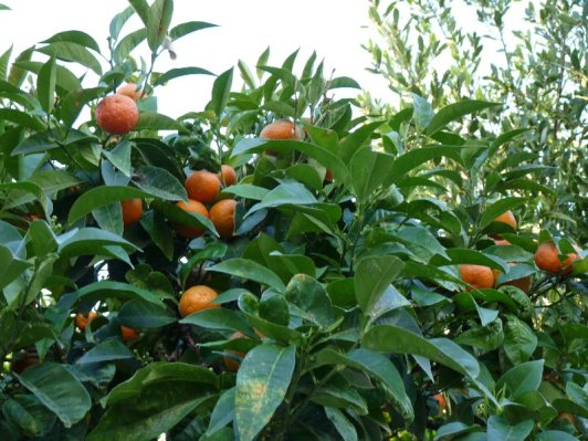 Orange trees often line the streets, or offer shade in gardens.