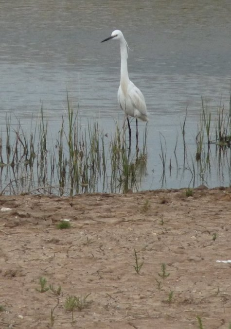 Egret in the evening.