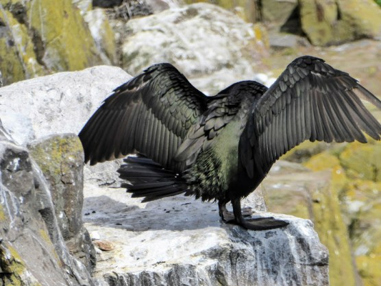 An adult cormorant spreads its glossy wings