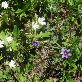 Blue eyed grass and chickweed