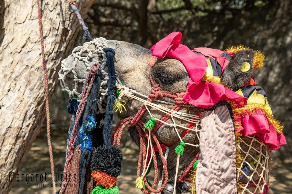 Heavily laden and chained camel, India
