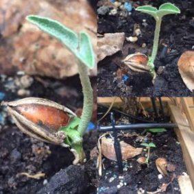 Semilla rota y germinada