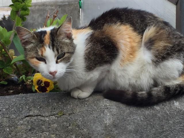 Calico cat in Positano