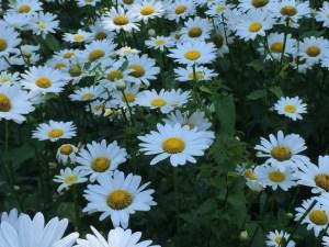 Flowers in NYC PArk Photo by Margie Miklas