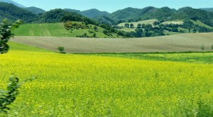 Rapeseed firlds Le Marche Photo by Margie Miklas