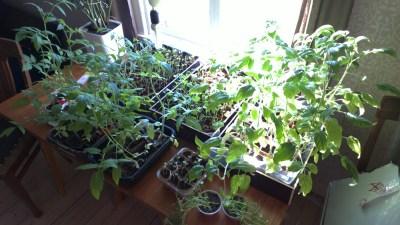 Tomaten, dahinter auch Kohl und Lauchpflanzen