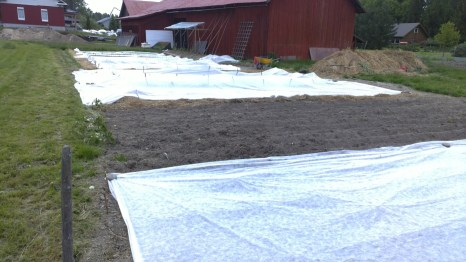 Die bepflanzte Fläche ist etwa so groß wie im letzten Jahr