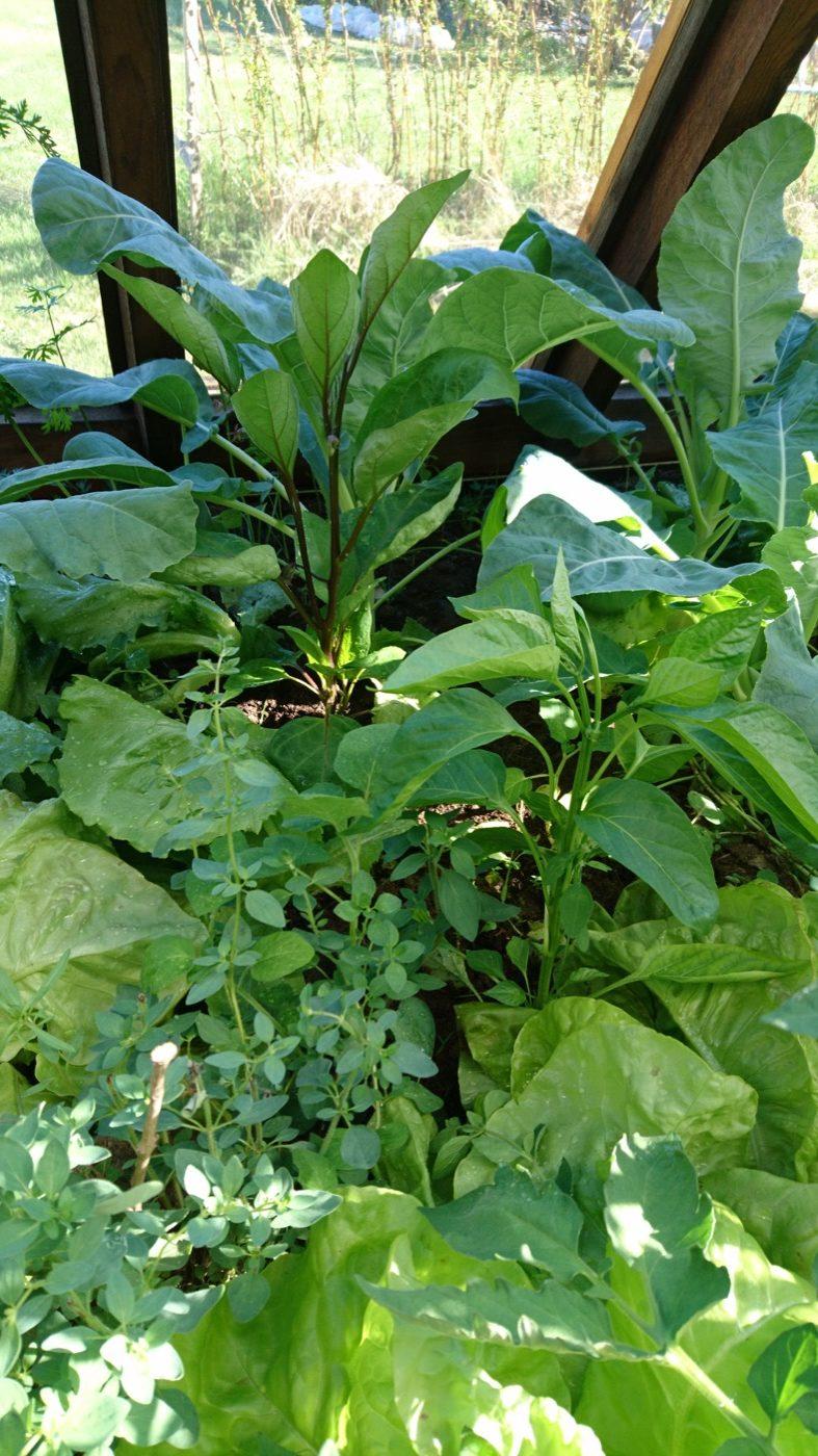 Dickicht aus Paprika, Augergine und Salaten