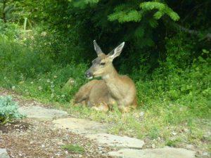 deer munching med
