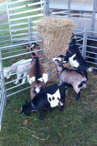 Goats cheese anyone?!(photo: Mr Edie)