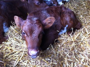 A day old calf at Acton Scott Farm earlier in the year.