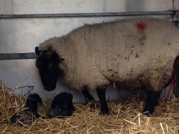 Lambing2015-3