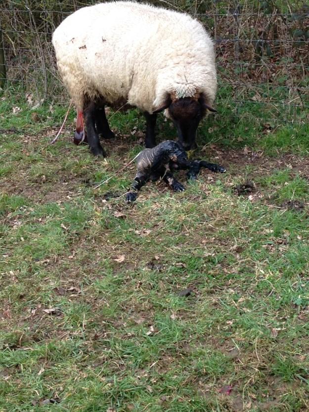Lambing2015-4