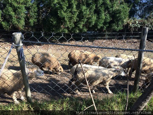 南投旅遊景點|清境農場的綿羊秀