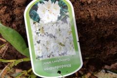 Vit Rhododendron