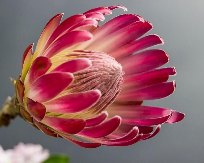 Protea. Hämtat från Pixabay 190408. Fotograf: corgaasbeek