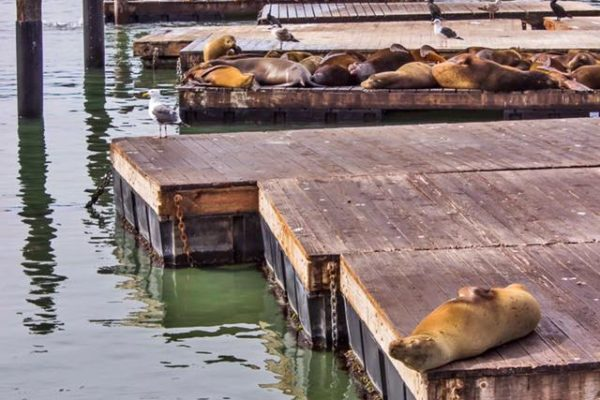 Leones Marinos Fishermans Wharf San Francisco California 6
