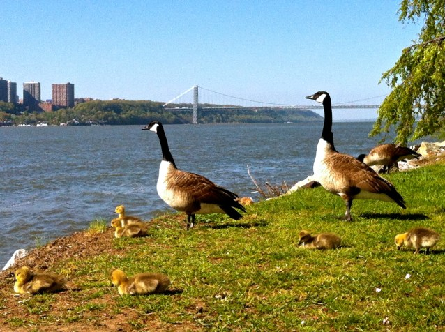 Day 218:2 make way for geese