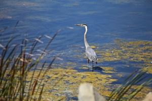 Day 253:3 Heron in Ventura.