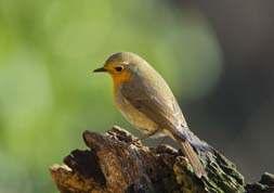 Photo flemmingthorninger.net The Robin