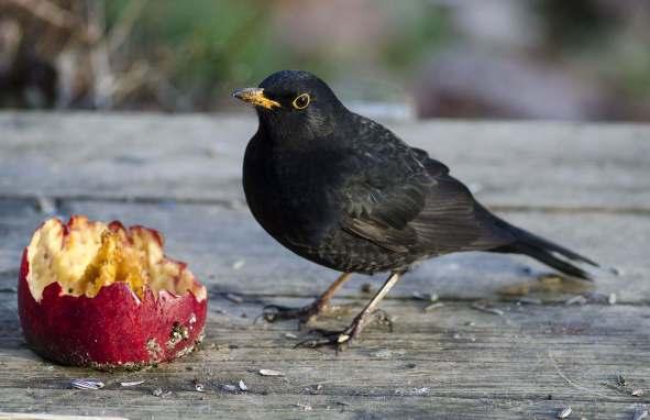 Photo flemmingthorninger.net The Black Bird