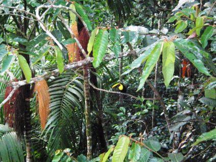 Un tucán asoma en el Rainforest Resort Gamboa