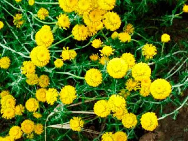 Abrótano macho—Artemisia abrótanum