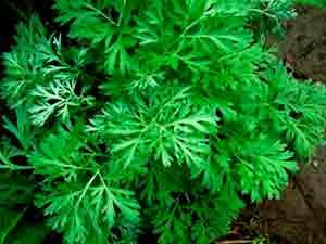 Ajenjo (Artemisia Absithium ).