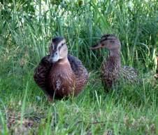 IMG_0077-ducks-s