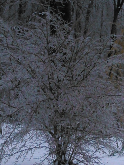 ice on bush