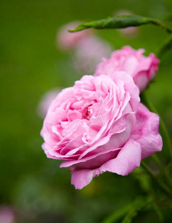 Ingeniørfruens urte- og medisinplantebibliotek - roser
