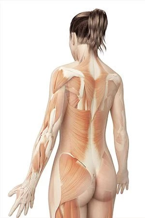 kinesiologie les muscles