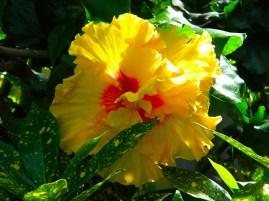 belle-hibiscus