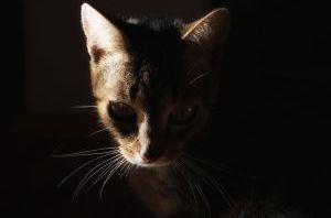 кошка обычная