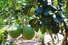 Tropical fruit aplenty