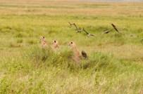 Geparde auf der Jagd