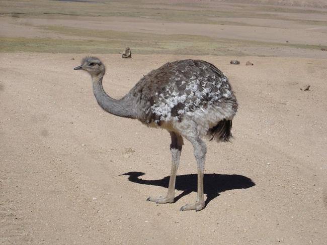 avestruz-3