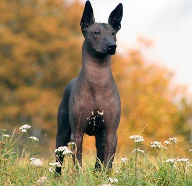 perro peruano