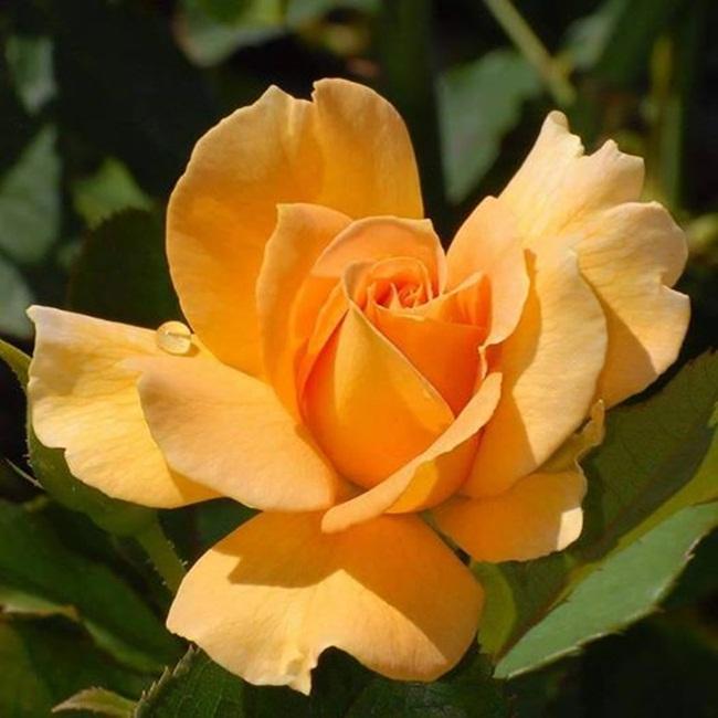 rosa-amarilla-2