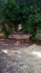 Sequoiabomen laantje